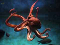 осьминога, осьминог, meduza
