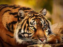 тигр, картинка, смотреть