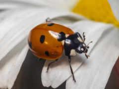 ladybug, цветы, coccinella