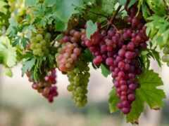 виноград, испания, сорт
