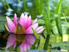 lotus, funart, бамбук