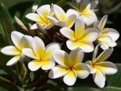 цветы, плюмерия, отдушка