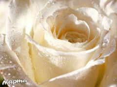 роза, цветы, white