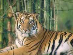 тигры, тигр, белый