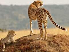 кот, гепард, animal