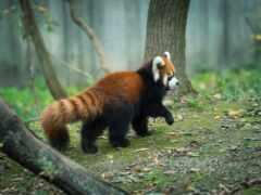 панда, red, ubackground
