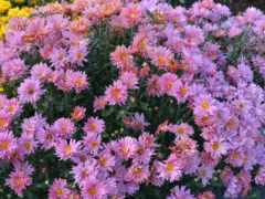 цветы, розовый, много