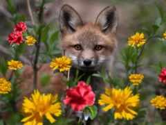 фокс, cvety, лисы
