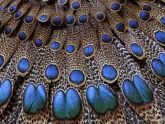 павлин, хвост, перья