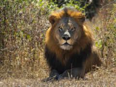 lion, зверей, king