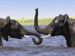 african, слоны, elephants