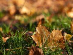лист, осень, dry