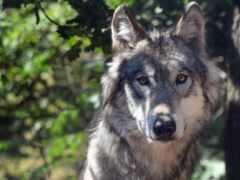 волк, серый, animal