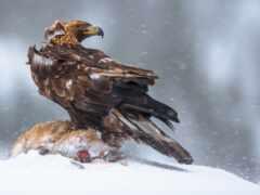 berkut, орлан, птица