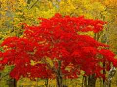 trees, листва, red