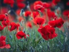 цветок, мак, цветы