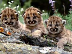 смешные, тигрятами, но