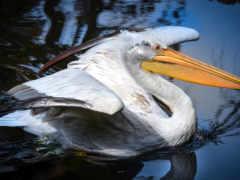 лебедь, картинка, птица