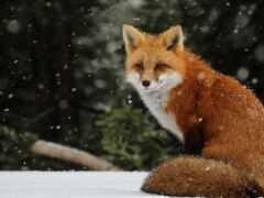 фокс, animal, ordinary