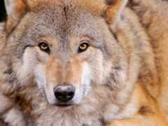 след, oir, волк