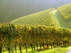 виноградники, утро, холмы