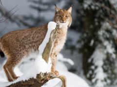 bobcat, animal, кот