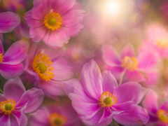 anemone, flowers, widescreen