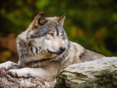 волк, волков, одинокий