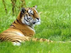 тигры, большие, тигр
