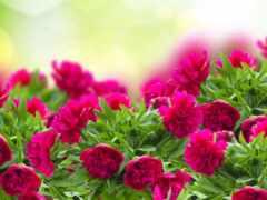 цветы, красивый, пион