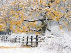 природа, дерево, снег