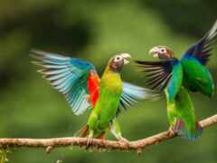 попугай, oir, mobioboi