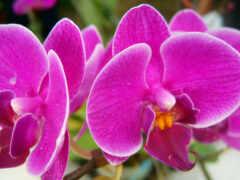 цветы, орхидея, purple