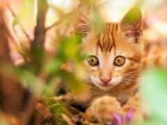 oir, red, кот