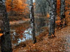 осень, березы, природа Фон № 71203 разрешение 1920x1200