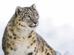 pantalla, fondos, leopardo