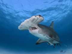 акула, hammerhead