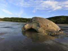 olive, ridley, turtle