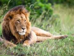 animal, lion, кот