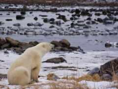 медведь, polar, animal