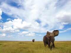 слон, animal