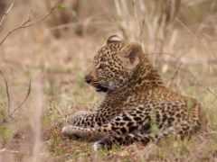 leopard, kitten, amur