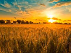 поле, русское, хлебное