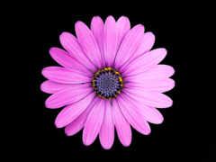 цветок, фиалка
