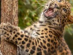 леопард, самые, качественные