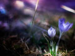 цветы, сиреневый, крокус