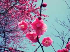 вишни, цвету, вишня