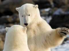 медведь, white, связь