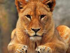 львица, lion, left