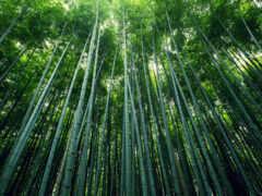 бамбук, лес, природа
